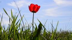 Spring tulip Stock Footage