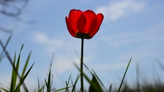 Tulip against the sky Stock Footage
