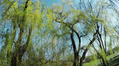Blossoming willow Stock Footage