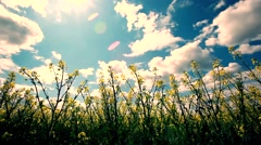 Beautiful yellow flowers of rapeseed fields and whit clouds - stock footage