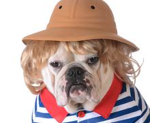 Dog wearing clothing - bulldog with blonde wig, safari had and shirt on white ba Stock Photos