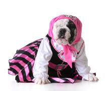 dog dressed up like a pirate on white background - bulldog female - stock photo
