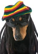 Dog in costume - doberman dressed with dreadlocks on white background Stock Photos