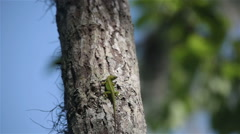 Green anole lizard crawling up a tree, Batavaria swamp, Louisiana, USA Stock Footage
