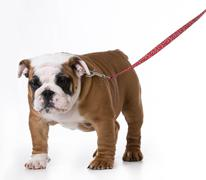 Cute bulldog puppy wearing leash and collar on white background Stock Photos