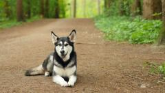 Husky lying in the forest Stock Footage