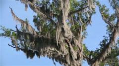 Cyprus tree Spanish moss blowing in wind, blue sky, Batavaria swamp, Louisiana  Stock Footage