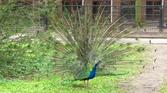 Peacock showing tail - stock footage