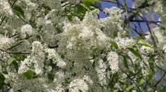 Luxurious blooming white bird cherry tree on blue sky trembling in the wind. - stock footage