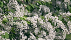 Flowering white bird cherry tree trembling in the wind. Stock Footage