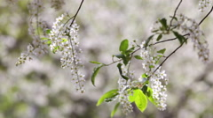 Closeup of blooming white bird cherry brunches on blur background. Stock Footage