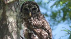 owl perched in the trees, blue sky, Batavaria swamp, Louisiana, USA, close up - stock footage