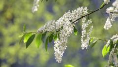 Closeup of blooming white bird cherry brunch on bright green background. Stock Footage