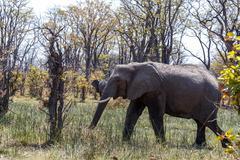 African Elephant Moremi Game reserve, Okawango Delta - stock photo