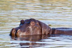 Portrait of Hippo Hippopotamus Hippopotamus Stock Photos