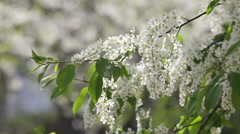 Flowering white bird cherry branch trembling in the wind. Stock Footage