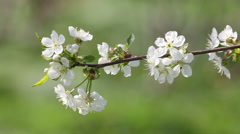 Blossoming white cherry branch trembling in the wind on blur green background. Stock Footage