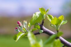 Blooming Apple Tree after Pruning Stock Photos
