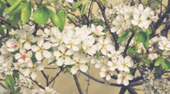 Apricot Flower Retro Look Stock Footage