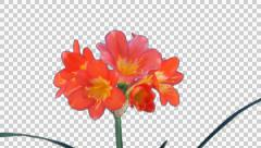 Stock Video Footage of Time-lapse of growing clivia Miniata flower with ALPHA channel