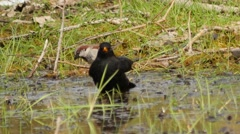 Funny blackbird washing in puddle Stock Footage