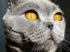 Scottish fold cat animal closeup Stock Photos