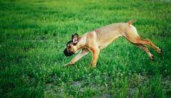 Cane Corso Whelp Puppy Running On Green Grass Stock Photos