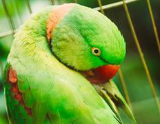Close Up Alexandrine Parakeet Psittacula Eupatria. Bird Parrot Kuvituskuvat