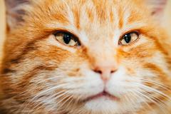 Close Up Head, Snout Of Peaceful Orange Red Tabby Cat Kitten Stock Photos