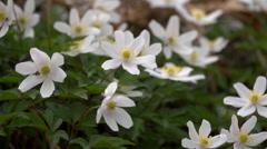 Anemone nemorosa.  The wood anemone Stock Footage