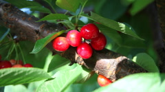 Hand collect a bunch of ripe red cherry, tasty fruits, tree, orchard Stock Footage