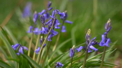 Hyacinthoides non-scripta, the woodland bluebell Stock Footage