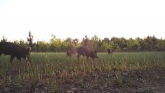 Wild Boar Hogs - stock footage