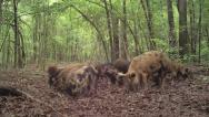 Stock Video Footage of Wild Boar Hogs