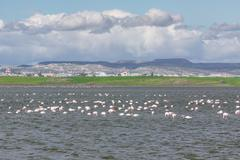 Flamingos in Larnaca Salt Lake - stock photo