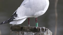 Detail view of gull leg banding Stock Footage