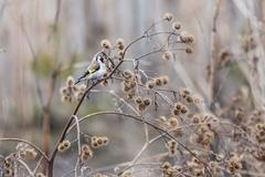 Goldfinch (Carduelis-carduelis) on a dry burdock in a native habitat Stock Photos