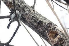 Chickadee build nests in the hollow of an old tree - stock photo