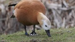 Ruddy shelduck feeding on ground Stock Footage
