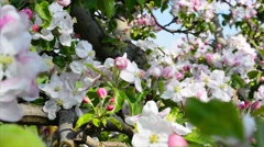 apple blossom 4k - stock footage