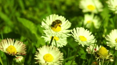Bee on White Flower Stock Footage