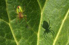 spider, shadow, arachnida, web, - stock photo