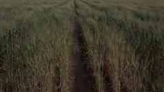 4K Wet Wheat Field Stock Footage