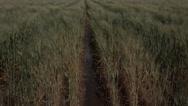 Stock Video Footage of 4K Wet Wheat Field