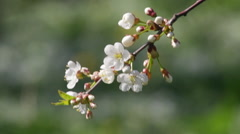 Closeup of blooming white cherry branch with buds trembling in the wind. Stock Footage