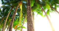 Wide angle view of many coconut palm trees  with green leaves at sunny day Stock Footage