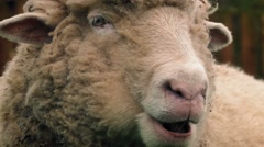 Sheep Chewing The Cud Closeup Stock Footage