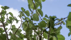 Mint or mentha plant. Stock Footage