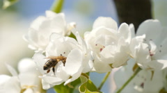 Bees collect nectar Stock Footage