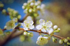 Almond Tree Branch - stock photo